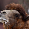 Elvis the male Bactrian Camel.  He ALWAYS has a froth going.