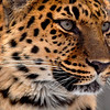 Mona the female Amur Leopard
