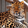 Tosya the male Amur Leopard on his favorite perch