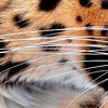Mona the female Amur Leopard's whiskers.  Possibly the longest in the zoo.