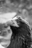 """<h3>Steller's Sea Eagle</h3> <i>Haliaeetus pelagicus</i>  Order:Falconiformes Family:Accipitridae  Body: range length: 85 to 94 cm, average wingspan: males - 118, females - 136 cm. Weight: . Females 6.8 to 9 kg, male 4.9 to 6 kilograms Geography range: eastern <a href=""""https://maps.google.com/maps?q=53.748711,+157.045897&num=1&vpsrc=0&ie=UTF8&t=m&z=4&iwloc=A"""">Russia</a>  More information in <a href=""""http://eol.org/pages/1049122/details"""">Encyclopedia of Life</a>"""