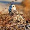 Snowy Owl - Jones Beach, Long Island, NY  This photograph is protected by the U.S. Copyright Laws and shall not to be downloaded or reproduced by any means without the formal written permission of Bob Arkow Photography.