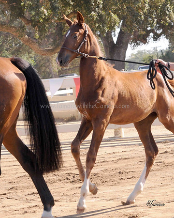 Domiro-D'Lilah Filly