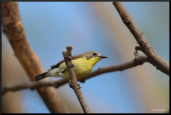 Australasian Warblers