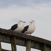 Great Black-backed Gulls, 14th Street Fishing Pier, 12/6/2013