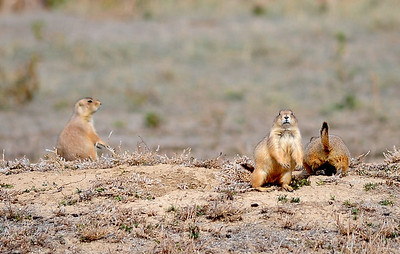 Prairie Dogs at Legacy High