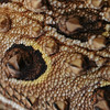 Intricate detail and texture of a Texas Horned Lizard's back.  Reminds me of tapestry hanging from a wall.