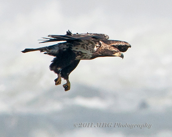 Conowingo Dam Eagles  2011