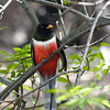 elegant trogon_SE Ariz 4-06 labelled