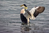 Eider Stretching his Wings
