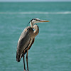 "Colorful ""S""<br /> Beautiful Heron on Clearwater Beach, FL"