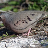 common ground dove- sanibel-3-04 labelled