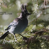 stellers jay_Wasatch UT 08 labelled