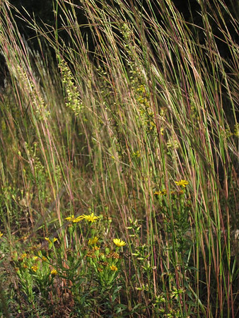 Schizachyrium scoparium (little bluestem) (NCBG 2014 seed list)