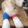 "Mac the golden retriever <br />  A golden retriever has been dubbed a ''walking miracle'' after surviving a 40-foot fall off a clifftop  in ventor while chasing a rabbit - with the help of two 'doggy splints'.<br /> Mac  is now on the road to recovery  Owner Margaret Sills, who was holiday on the island spoke about  how her 18-month-old dog Mac has astounded rescuers and vets with his determined recovery.  Less than three weeks after Mac suffered  two broken legs and a collapsed lung, is fully mobile on a pair of specially-made doggy splints.  Margaret and Mac were 10 days into a month-long holiday on the Isle of Wight when he spotted a rabbit and chased it straight through a bush over a cliff .  Incredibly he survived landing on rocks along the coast from Ventnor beach after plummeting three times the height of a double decker bus.   Distraught Margaret called the Isle of Wight coastguard who rescued death-defying Mac using a stretcher before he was rushed to a local vet.   A team of critical care vets, nurses and orthopaedic surgeons tended the injured dog through two operations and a two-week stay in intensive care.   Now back at home in nearby Somersham, Cambridgeshire  Mac is getting used to walking with splints as part of his miraculous recovery.<br /> A spokeswoman for the Isle of Wight Coastguard said: ""We sent some of our volunteer coastguards to assess the situation and assist where possible.<br /> <br /> ""Our role is search and rescue for people and vessels but there are incidents on the shoreline involving animals where we assist the owners to prevent them injuring themselves."""