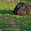 Hippopotamus, Scientific Name: Hippopotamus amphibius, Location: Zambia