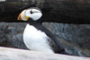 "The Horned Puffin was one of our ""goal birds"" when we came to Alaska. We saw this and the Tufted puffin at the Sea Life Aquarium in Seward, Alaska."