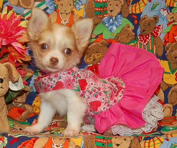 Chihuahua 2006 Adopted Puppy Photo Gallery