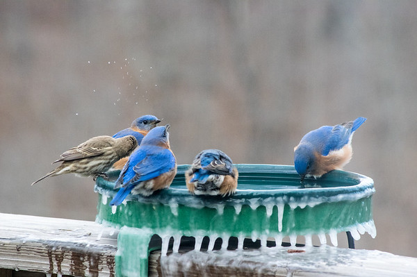 Brrrr Bluebirds & Get off my Feeder!