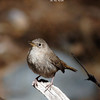 house wren_SE Ariz 4-06-labelled