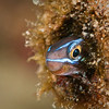fish blenny/goby playing peek-a-boo
