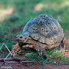 Leopard Tortoise, Scientific Name: Geochelone pardalis, Location: South Africa