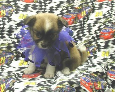 2004 Chihuahuas Sold