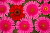 Red Among Pink Gerbera Daisies
