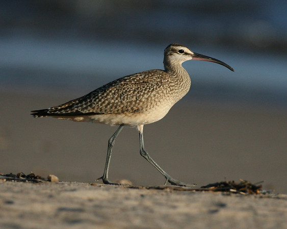 Plovers, Avocet, Sandpipers - 31 of the 36 species expected in Indiana have been photographed