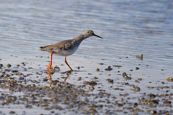 Common Redshank ( Tringa totanus)