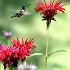 JOYCE'S GARDEN HUMMINGBIRDS ETC :