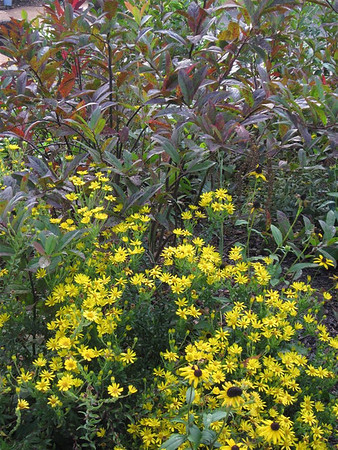 Chrysopsis mariana (Maryland golden-aster) (NCBG 2014 seed list)
