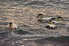A Raft of Common Eiders