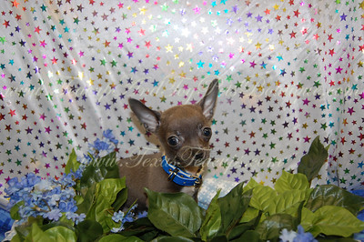 Chihuahua 2010 Adopted Puppy Photo Gallery