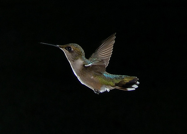 My Backyard Hummingbirds