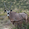 Gemsbok, Scientific Name: Oryx gazella, Location: South Africa
