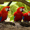 The Scarlet Macaw - native to Central America.  These birds were very funny, pushing & shoving like children as they ate.  They make very loud squawks and live up to 75 yrs in captivity.