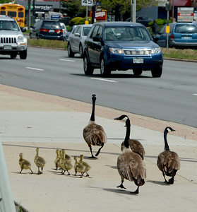 Family of Geese Travel Through Boulder