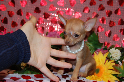 Chihuahuas Sold In 2008