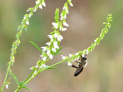 Beekeeper Don Studinski Works Wth His Bees