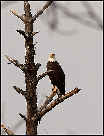 Bald Eagles 2014