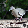 white-winged dove-SE Ariz 4-10 labelled
