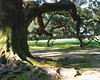 Oak Tree, Oak Alley Plantation, Vacherie, Louisiana