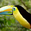 "The Keel billed Toucan - also native to Costa Rica.  Always reminds me of the ""Fruit Loops"" Toucan!  So colorful and a very social bird!  Enlarge for some beautiful detail."