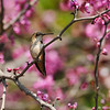 An Allen's Hummingbird perched in a blooming Eastern Redbud tree.