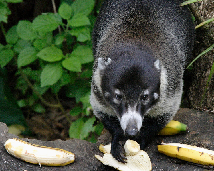 2014- coati- Turrialba