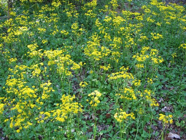 Packera aurea (golden ragwort) (NCBG 2014 seed list)