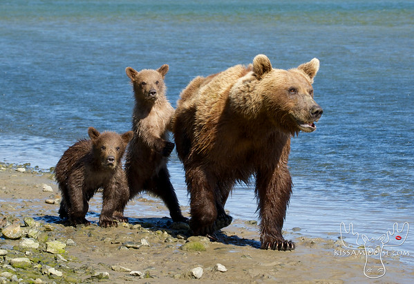McNeil River, Brown Bear, Bears, Bear, Katmai, Alaska, Grizzly Bear, Grizzly