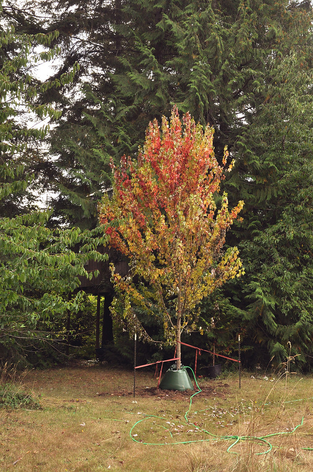 18' Maple Tree