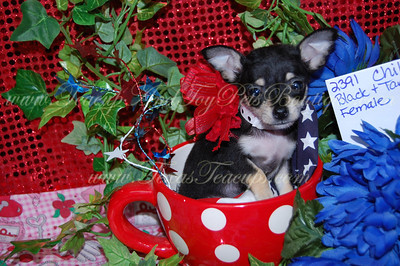 Chihuahuas Adopted 2011 $675 Or Less